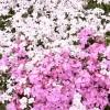 芝桜の丘07