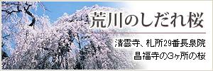 Of Arakawa hang down; cherry tree