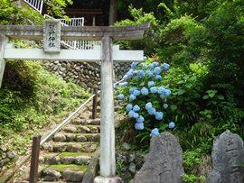 熊野神社 紫陽花