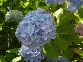 紫陽花 花1