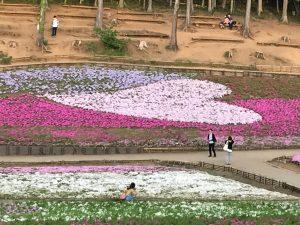 芝桜ハート