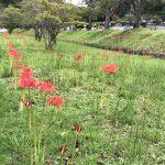 0917聖地公園曼珠沙華
