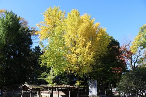 椋神社の大イチョウ