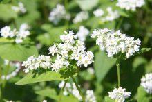 ちちぶ荒川秋そばの花見まつり