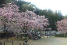 2017年 しだれ桜便り 清雲寺
