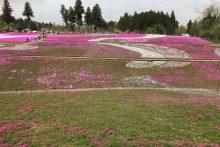 300411芝桜