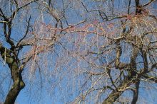 長泉院のしだれ桜