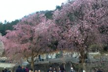 2018年 しだれ桜便り 清雲寺