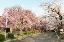 羊山公園の桜