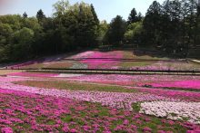 0420芝桜