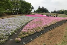 0502芝桜