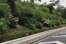 0617武州日野駅前アジサイ