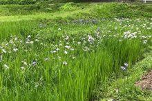 0617羊山公園花菖蒲