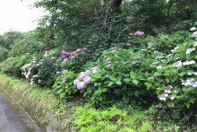 0623武州日野駅アジサイ