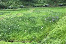 0623羊山公園花菖蒲