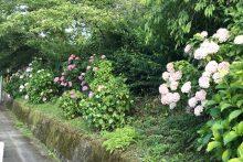 0701武州日野アジサイ
