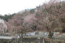 2019年 しだれ桜便り 清雲寺
