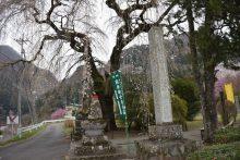 2019年 しだれ桜便り 札所29番長泉院