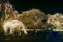 2019年 しだれ桜便り 清雲寺ライトアップの様子
