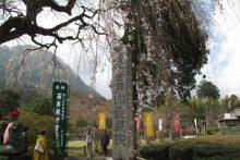 2019/03/31 (日):長泉院しだれ桜の様子