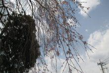 2019/03/28 (木):長泉院の様子