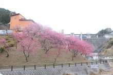 3月28日現在 元気村の花桃 見ごろを迎えました。(6分咲き)