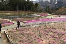 羊山公園桜