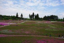 0506芝桜
