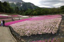 0507芝桜