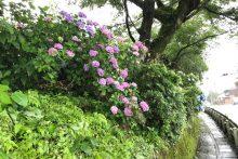 0707武州日野駅アジサイ