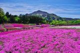 入選「芝桜の丘」福島一生 様