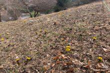 沢口の福寿草の画像