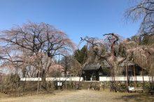 清雲寺しだれ桜319