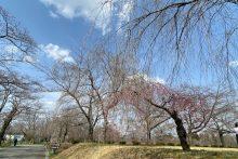 0322羊山公園ソメイヨシノ