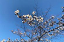 0326羊山公園桜