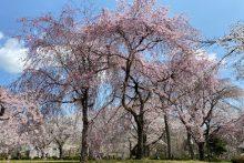 0402羊山公園桜