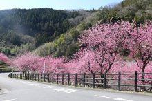2020年の吉田元気村「花桃」