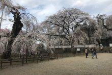 2020年 しだれ桜便り 清雲寺