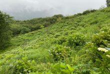 0614美の山公園アジサイ