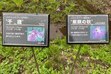 0621羊山公園花菖蒲