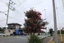 2020年の百日紅(サルスベリ)街道