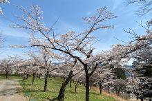 0327羊山公園桜