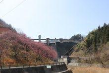 2021年の吉田元気村「花桃」