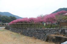 花桃の画像